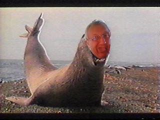 Tao éléphant de mer